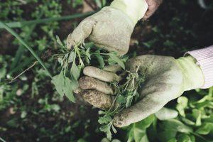 Hände, nah, mit Gartenhandschuhen, halten Unkraut - grüne Kräuter - ins Bild